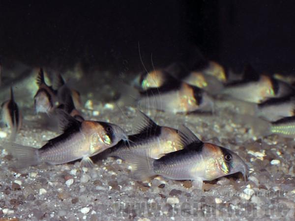 Adolfoi Panzerwels, 4cm 10er-Zuchtgruppe (Corydoras adolfoi)