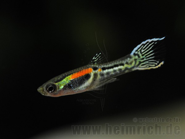Guppy, Endler Yellow small (Poecilia reticulata)