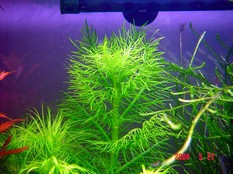 Hygrophila balsamica (Wasserfreund, spec. balsamica)
