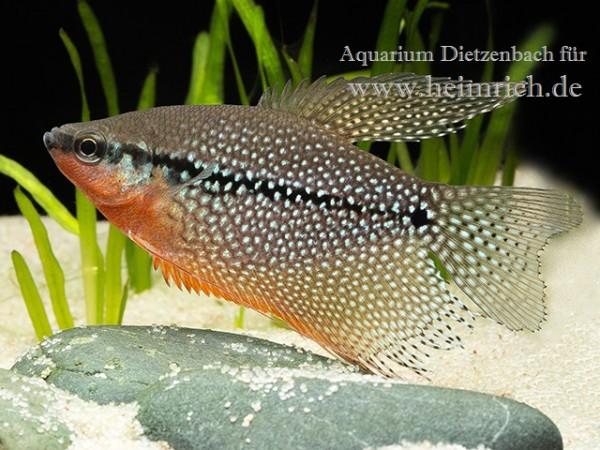 Mosaikfadenfisch, large (Trichogaster leeri)