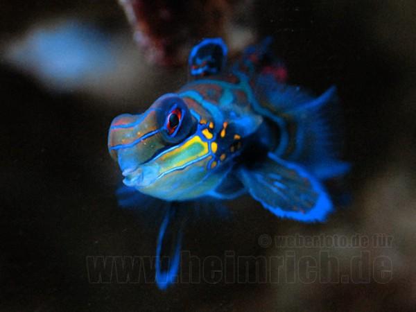 Mandarinfisch (Synchiropus splendidus)