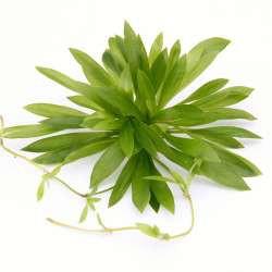 Helanthium bolivianum In-Vitro