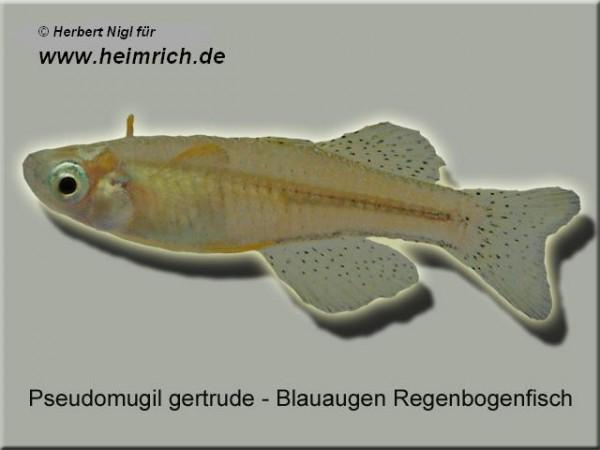 Gepunkteter Regenbogenfisch (Pseudomugil gertrudae)