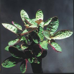 Hemigraphis colorata (Buntes Noppenblatt)