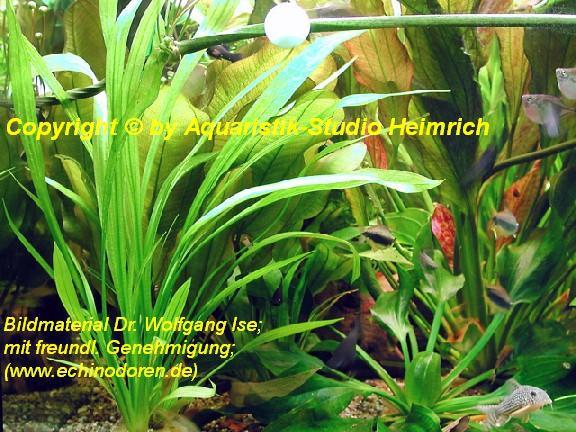Echinodorus decumbens (Schmalblättrige Schwertpflanze)