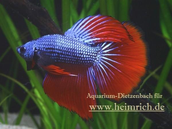 Siam. Kampffisch PREMIUM 'Halfmoon Special Color', lg (Betta splendens)