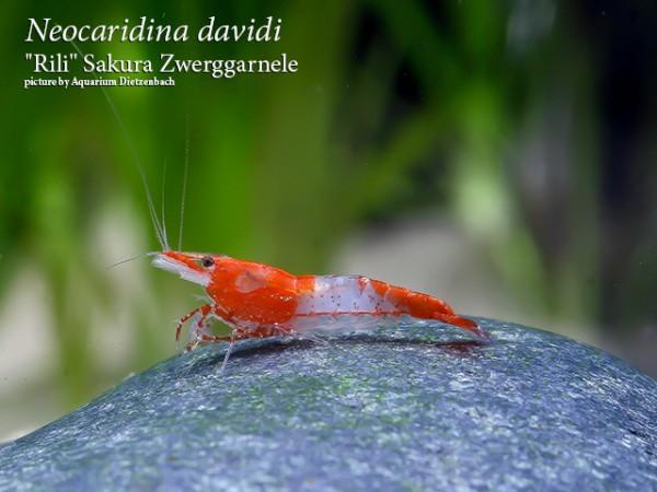 """Neocaridina davidi, large (""""Rilli"""" Sakura Zwerggarnele)"""