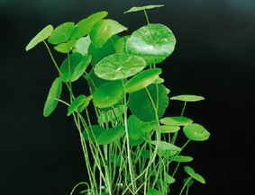 Hydrocotyle verticillata (Hutpilzpflanze)