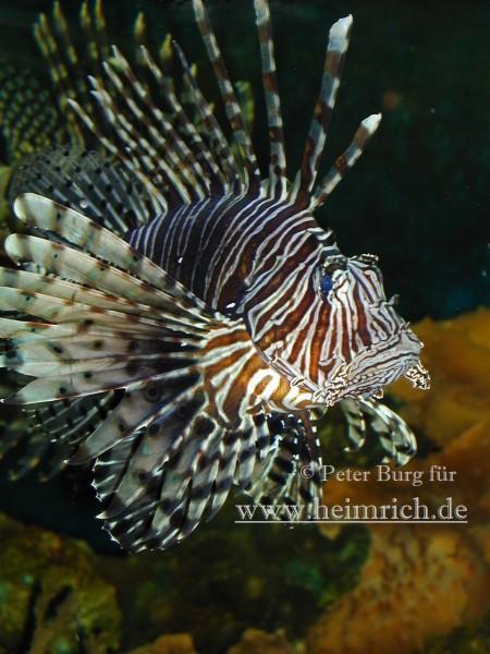 Pazifischer Rotfeuerfisch, med. (Pterois volitans)