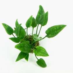Cryptocoryne pontederifolia In-Vitro