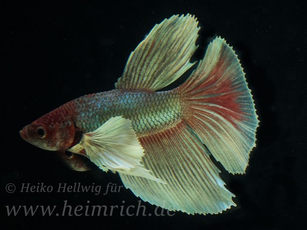 Siam. Kampffisch Big Ear Longtail, lg (Betta splendens)