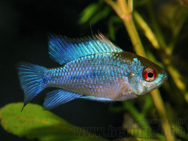 "Mikrogeophagus ramirezi ""Electric Blue"", med."