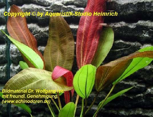 Echinodorus 'FANTASTIC COLOR'