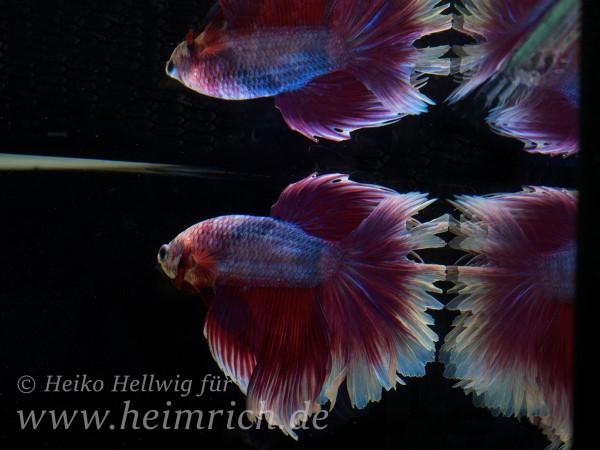 Siam. Kampffisch spec. Rosetail Red Blue, lg (Betta splendens)