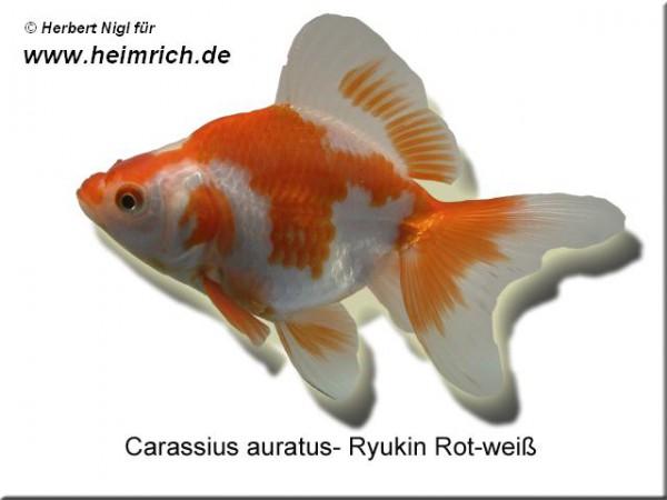 Ryukin Rot-Weiss, 6cm (Carrasius auratus)