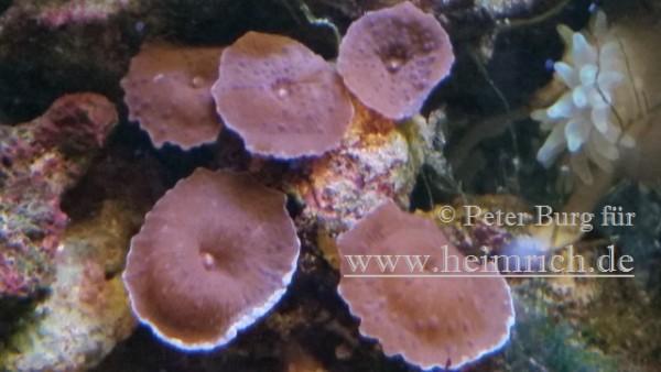Rhodactis spec. Super Red, med (Rote Scheibenanemone)