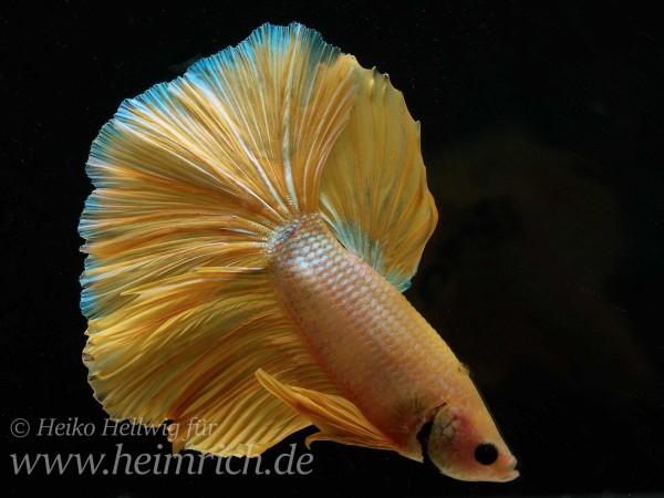 Siam. Kampffisch spec. Dragon Gold, lg (Betta splendens)