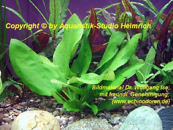 Echinodorus schlüteri
