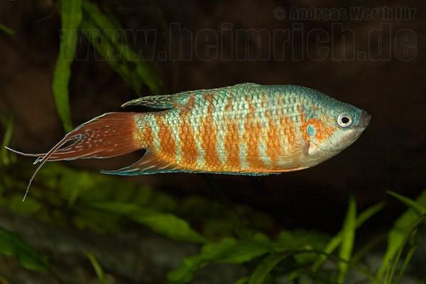 Paradiesfisch, Red lg (Macropodus opercularis)