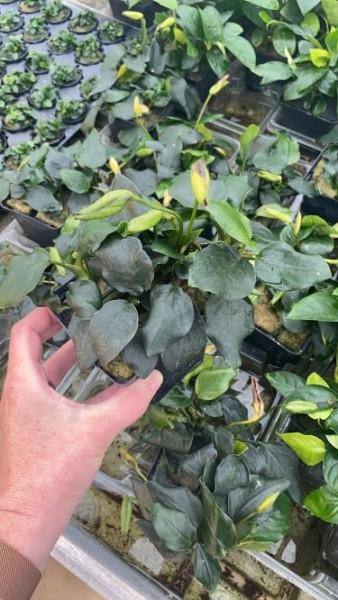 Anubia nana spec Thick Leaf XXL - Mutterpflanze